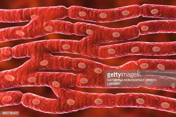 heart muscle structure, illustration - microbiology stock illustrations