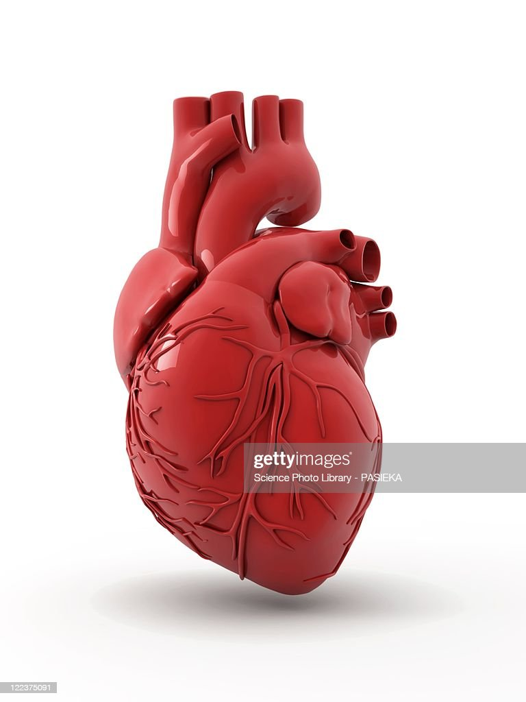 Heart with coronary vessels : stock illustration
