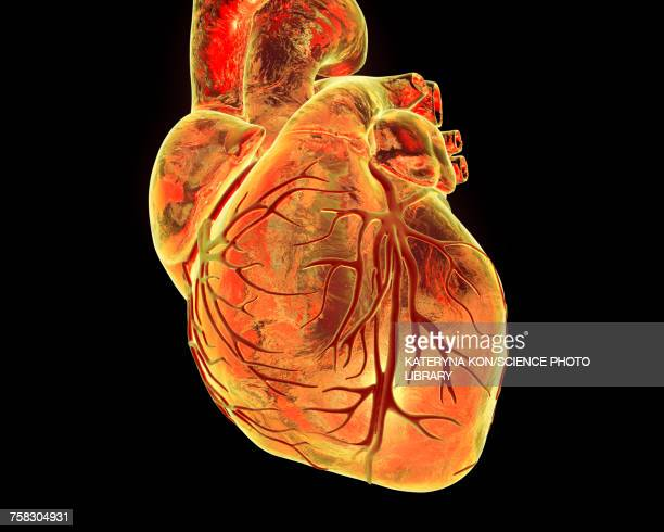 heart with coronary vessels, illustration - coronary artery stock illustrations, clip art, cartoons, & icons
