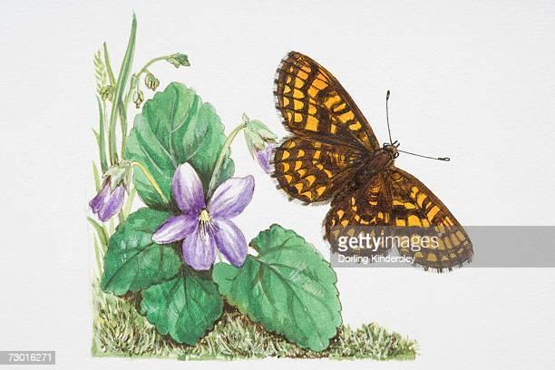 heath fritillary butterfly (melitaea athalia) flying near a purple flower. - animal limb stock illustrations, clip art, cartoons, & icons