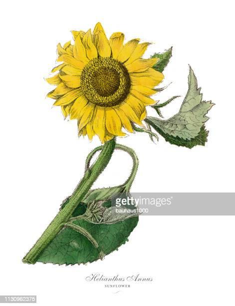 helianthus annus, sunflower plants, victorian botanical illustration - archival stock illustrations