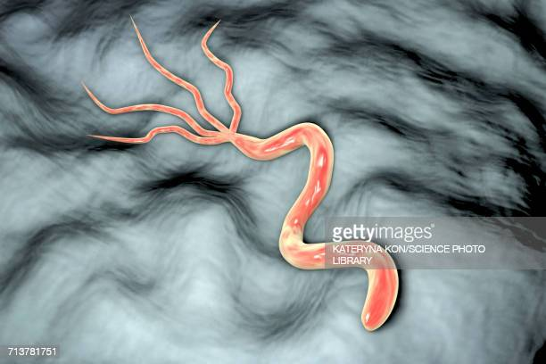helicobacter pylori bacterium, illustration - stomach ulcer stock illustrations
