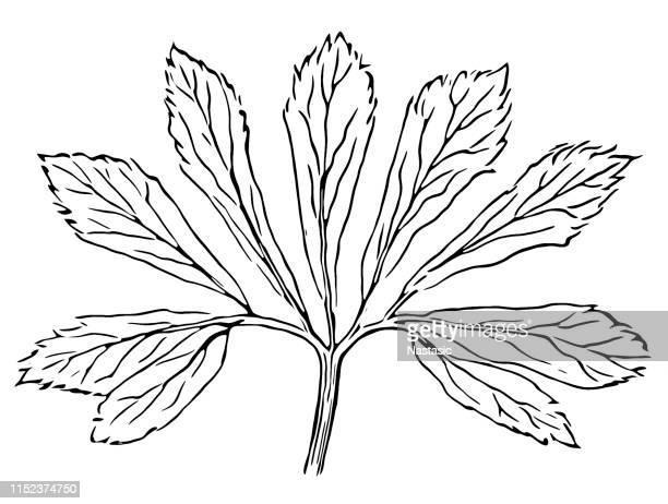 ilustraciones, imágenes clip art, dibujos animados e iconos de stock de helleborus niger (rosa de navidad, hellebore negro) hoja - ranunculus
