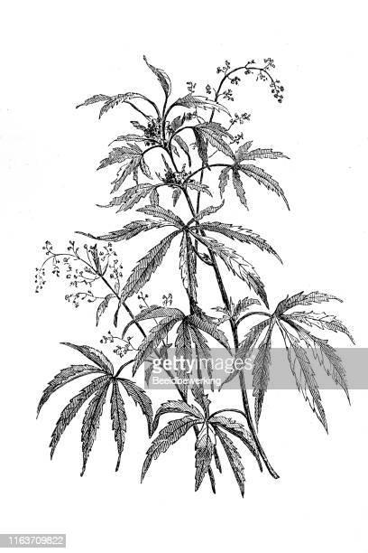 大麻農業植物男性と女性 - 麻点のイラスト素材/クリップアート素材/マンガ素材/アイコン素材