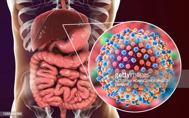 hepatitis c infection, illustration - human small intestine stock illustrations