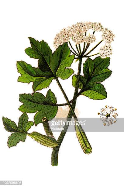 heracleum sphondylium, commonly known as hogweed, common hogweed or cow parsnip - parsnip stock illustrations, clip art, cartoons, & icons