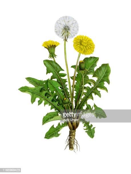 illustrations, cliparts, dessins animés et icônes de herb dandelion - fleur de pissenlit