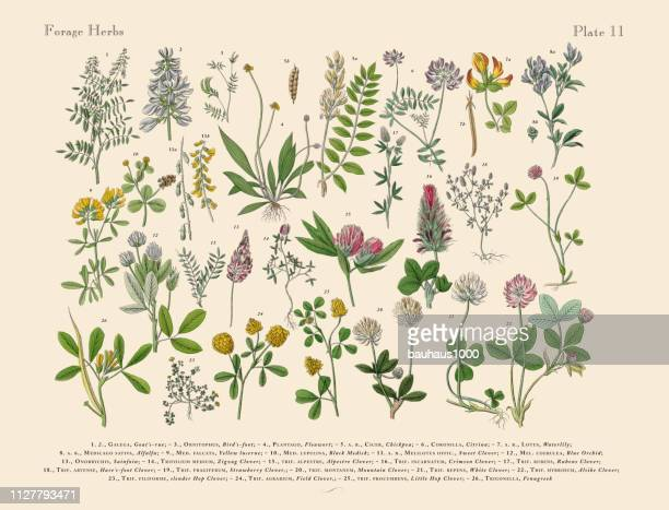 Anb ハーブ スパイス、ビクトリア朝の植物図