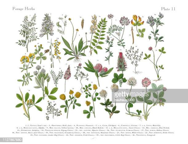 herbs anb spice, victorian botanical illustration - botany stock illustrations
