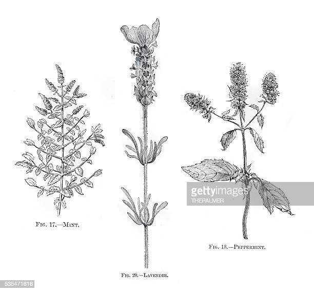 herbs mint lavender engraving 1898 - etching stock illustrations