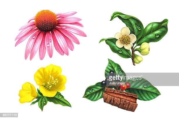 herbs-echninacea, sagrada, green tea, primrose - four objects stock illustrations