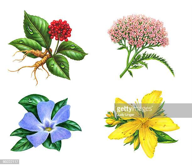 herb-st johns wort, ginseng, periwinkle, valerian - four objects stock illustrations