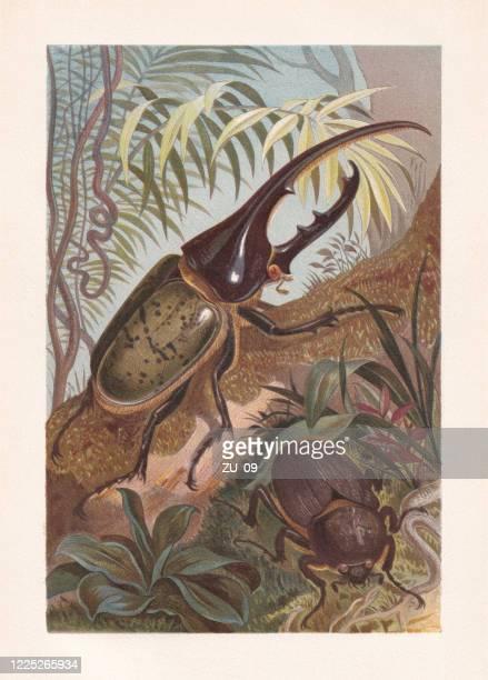 ilustraciones, imágenes clip art, dibujos animados e iconos de stock de escarabajo hércules (dynastes hercules), cromolitografía, publicado en 1884 - biodiversidad