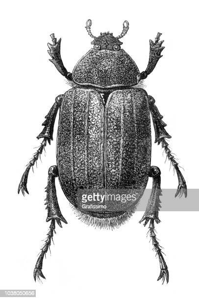 Hercules beetle female insect illustration