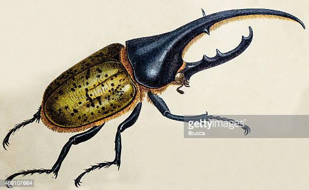 illustrazioni stock, clip art, cartoni animati e icone di tendenza di hercules beetle o dynastes hercules, illustrazioni insetto animali antico - coleottero