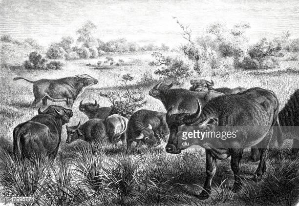 illustrations, cliparts, dessins animés et icônes de troupeau de buffles en afrique - afrique paysage