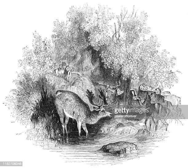 herd of deer in the forest of arden in warwickshire, england - 17th century - ancient stock illustrations