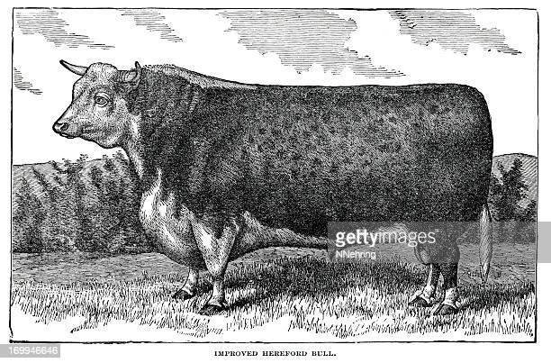 60 Top Beef Cattle Stock Illustrations, Clip art, Cartoons