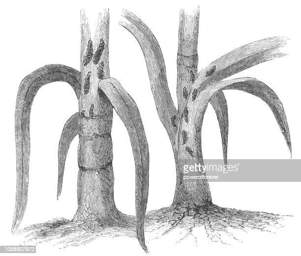 hessian fly insect larva feeding on a plant - mayetiola destructor - infestation stock illustrations, clip art, cartoons, & icons