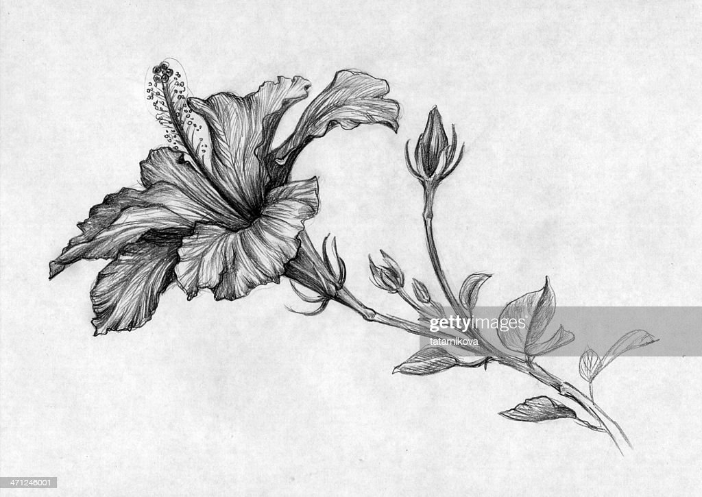 Hibiscus Flower Stock Illustration Getty Images