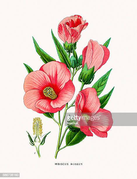 hibiscus rose flower - lithograph stock illustrations