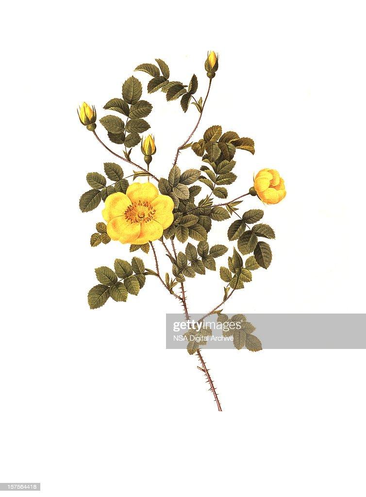 High Resolution Yellow Rose | Antique Flower Illustrations : stock illustration