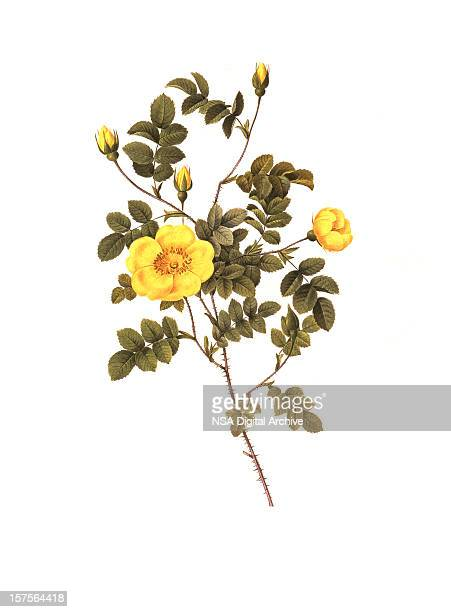 high resolution yellow rose | antique flower illustrations - antique stock illustrations