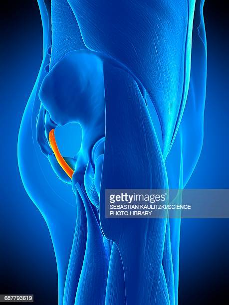 illustrations, cliparts, dessins animés et icônes de hip ligament, illustration - fesses