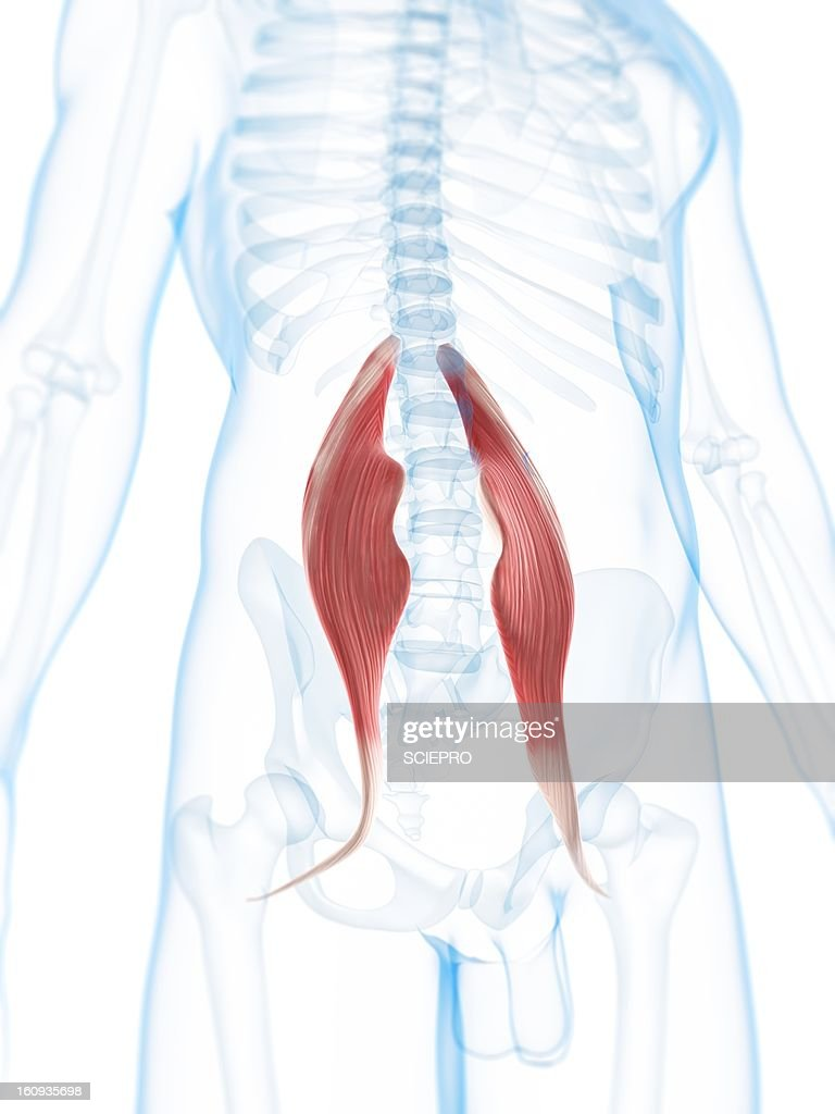 Hip Muscles Artwork Stock Illustration Getty Images