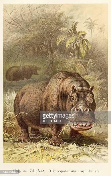 Hippopotamus illustration 1888
