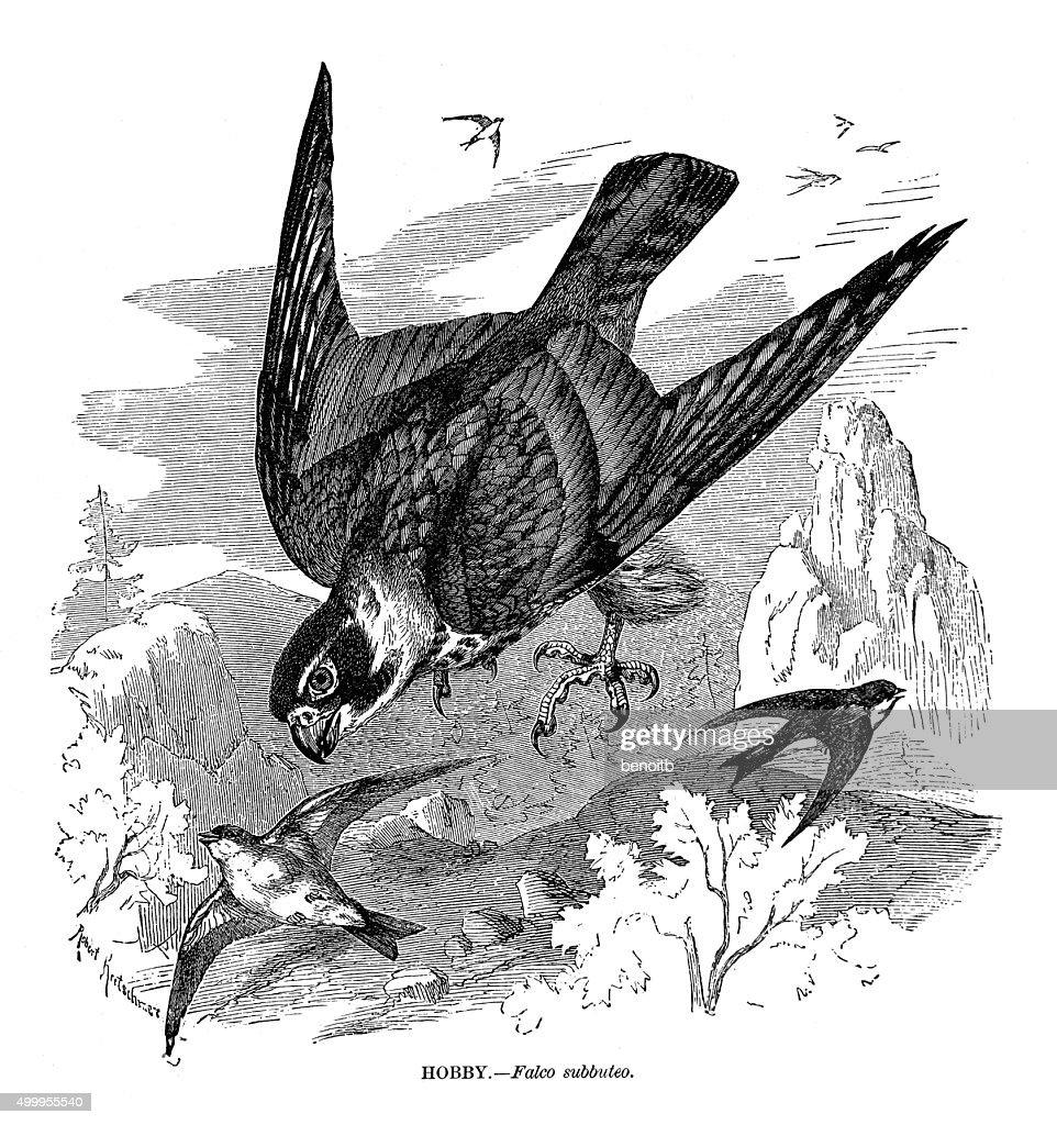 Hobby Falcon : stock illustration