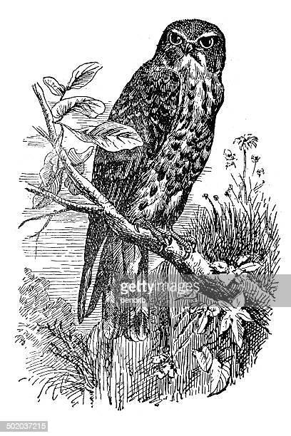 hobby falcon - falcons stock illustrations, clip art, cartoons, & icons