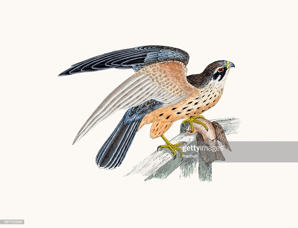 Hobby small falcon bird of prey : stock illustration