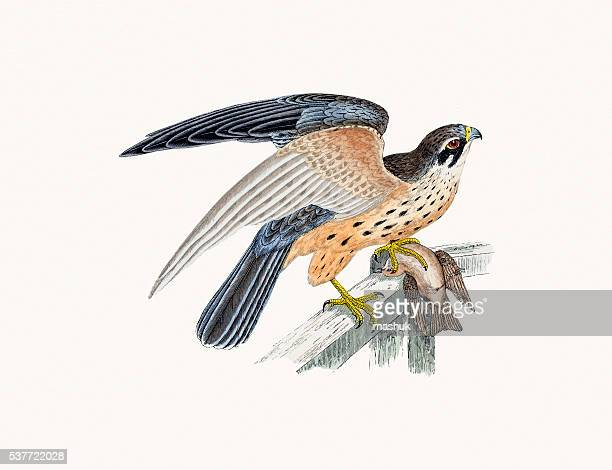 hobby small falcon bird of prey - falcon bird stock illustrations, clip art, cartoons, & icons