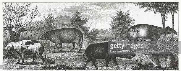 Hogs and Boars Engraving