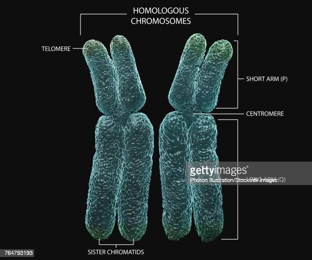 Homologous chromosomes with annotations.