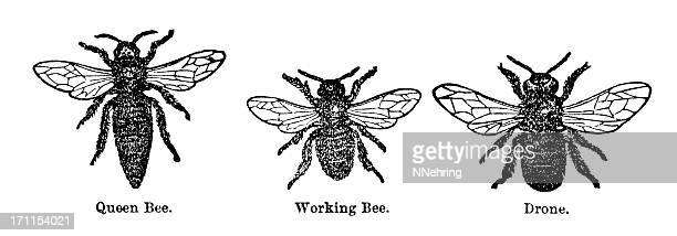honey bee engraving - queen bee stock illustrations