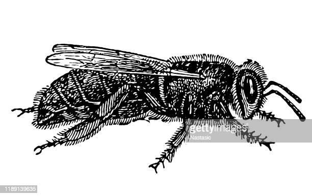 ミツバチクイーン (アピス・メリフィカ) - queen bee点のイラスト素材/クリップアート素材/マンガ素材/アイコン素材