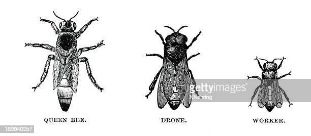 honey bees engraving - queen bee stock illustrations