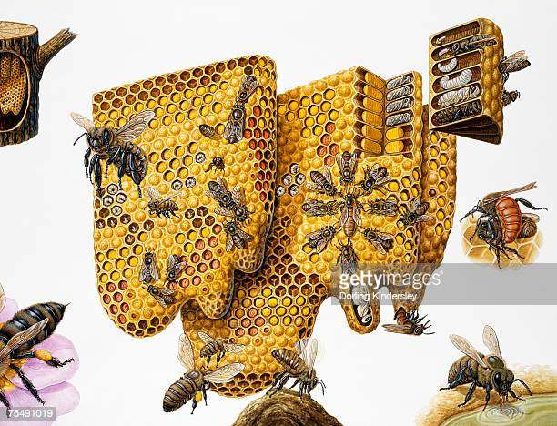 honey bees, (apis mellifera) honeycomb and life cycle, expanded cross-section and insets - queen bee stock illustrations