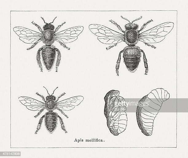 honeybee (apidae mellifica), wood engravings, published in 1876 - worker bee stock illustrations