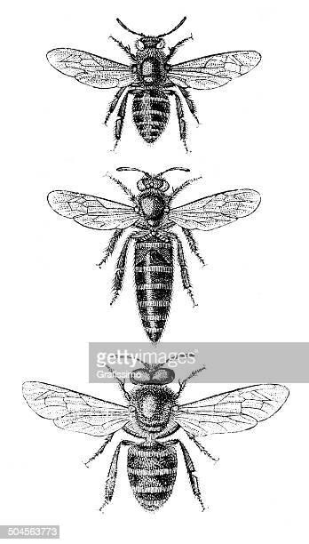 Honeybee abeja obrera queen y Soniquete ilustraciones