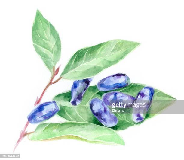 honeysuckle berries on white background. watercolor illustration - arrowwood stock illustrations, clip art, cartoons, & icons