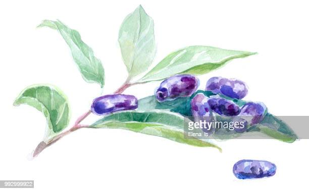 honeysuckle berries on white background. watercolor illustration