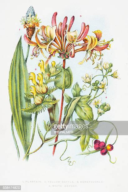 honeysuckle flowers engraving 1898 - arrowwood stock illustrations, clip art, cartoons, & icons