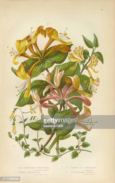 honeysuckle, honeysuckle vine, lonicera, victorian botanical illustration - arrowwood stock illustrations, clip art, cartoons, & icons