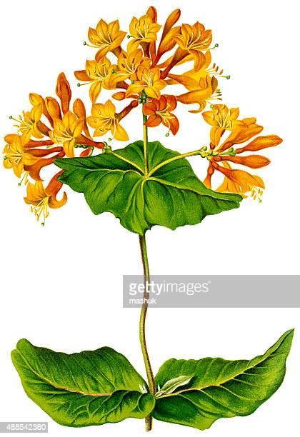 スイカズラ植物、19 世紀の litho - 漢方薬点のイラスト素材/クリップアート素材/マンガ素材/アイコン素材
