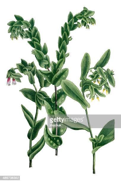 Honeyworts isolated on white 18th century botanical illustration