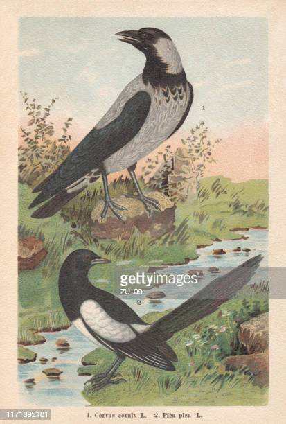 hooded crow and eurasian magpie, chromolithograph, published in 1896 - magpie stock illustrations