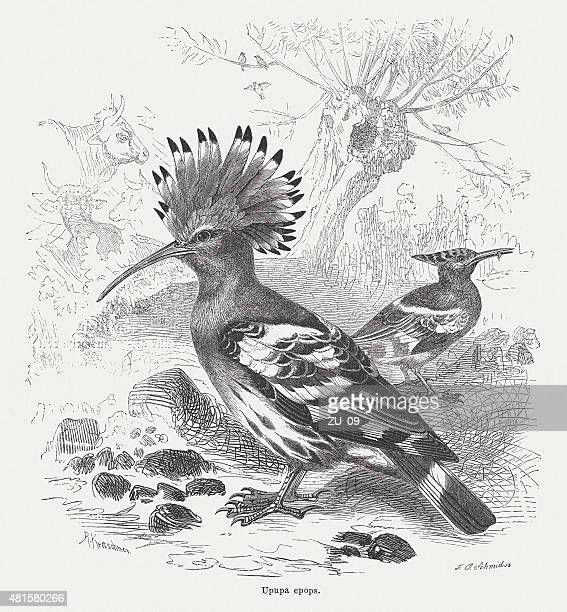 hoopoe (upupa epops), published in 1882 - paddock stock illustrations, clip art, cartoons, & icons